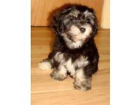 Puppies for sale (Havachon)