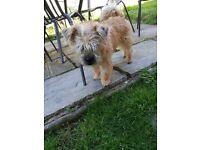 Lhas Aspo/Lakeland Terrier Pup For Sale