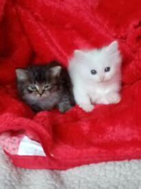 Full registered Siberian kittens look for a new home