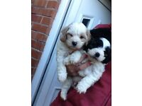 Cavapoo puppies ready now