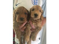 F1 cockerpoo puppies ranging from red to golden.