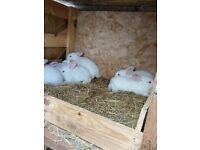 Family of New Zealand white rabbits