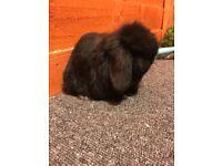 Mini lop rabbit black doe