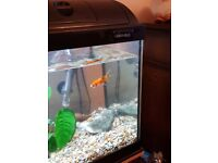 Gold Fish with tank