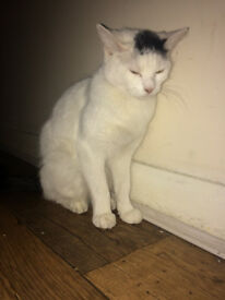 1 year old white cat for sale