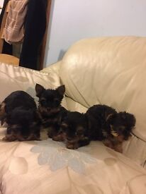 Yorkshire terrier puppies for sale, Kc registered