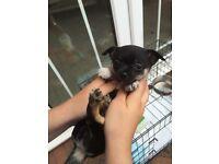 Baby Bear Chihuahua Pup