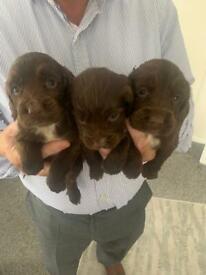 Cocker spaniel puppies!