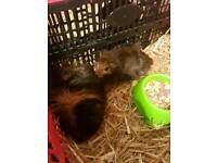 2 long haired Guinea pigs and brand new hutch