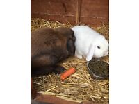 2x Lop Rabbits. Spayed and neutered.