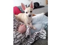 Chiauaua full breed puppie 3 months old needs a nice loving home asap