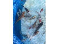 Pond koi fish
