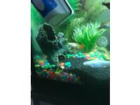 Tropical fish - mollies and gubbies for sale