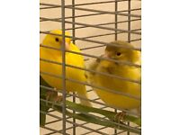Canaries for sale in in Scotland | Birds for Sale - Gumtree