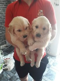 KC Registered Golden Retriever puppies. Full pedigree of both parents. Pet plan insured..