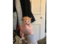 Lovey pure ginger boy kitten won't be ready until 25 may 2018, mother is half mainecoon..