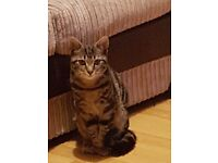 9 month old boy tabby cat