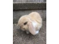 BABY MINI LOP BUNNIES FOR SALE THREE AVAILABLE