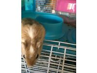 Female gerbil and cage and extras