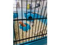 Dwarf roborowski hamster+cage+some accesories