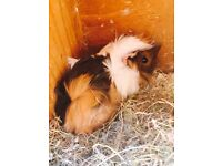 Guinea pig male for sale.
