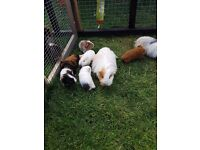 Guinea pigs for sale £10 each.