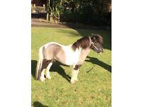 "31"" (7.75hh) Miniature horse for sale 8 yo"