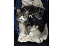 Beautiful Longhair Kittens