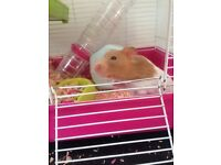 Syrian hamster and Cage +accessories