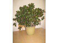 Money Plant (Crassula portulacea) Also known as Horseshoe or Spoon Jade