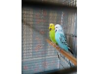 BONDED BUDGIE FOR SALE