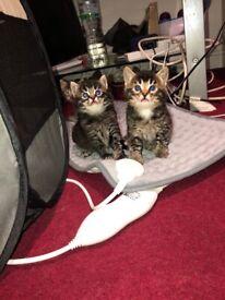 2 Snow Bengal Kittens Cross