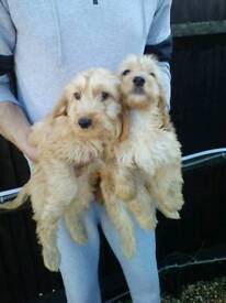 2 Beautiful red cockapoo puppies