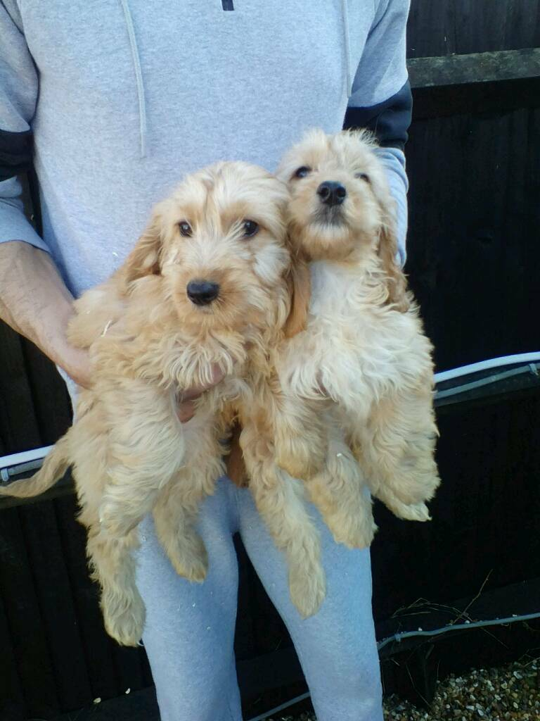 2 Beautiful red cockapoo puppies