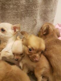 6 Chihuahua pups