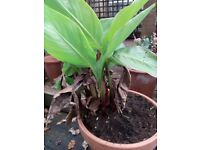 Canna lily in terracotta pot