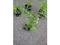 YOUNG HEDGING PLANTS LONICERA LEMON BEAUTY & LONICERA MAYGREEN