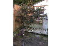Large Japanese Maple Tree ( REDUCED)