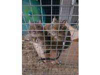 Degus with cage