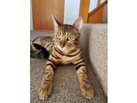 Lovely bengal looking for loving home