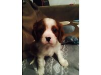 Male Cavilier King Charles Puppy
