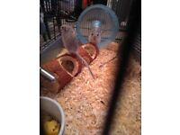 3 adult gerbils