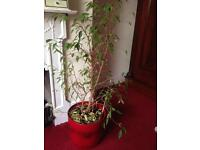 Very tall ficus kinky house plant in large red ceramic pot
