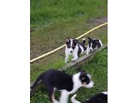 3 border collie pups
