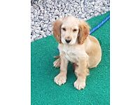 Beautiful cockerspaniel male