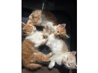 3 Male Medium Haired Kittens