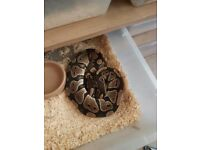 2 royal pythons for sale