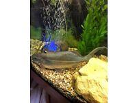 Large silver catfish