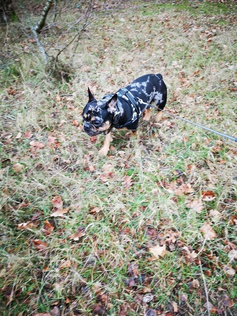 Black And Tan Merle French Bulldog Boy In Wisbech Cambridgeshire