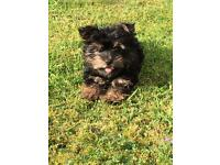 Female Yorkshire terrier 12 weeks old